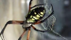 Les araignées seraient plus grosses et plus nombreuses dans les