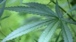 Des pompiers découvrent de la marijuana après avoir maîtrisé un