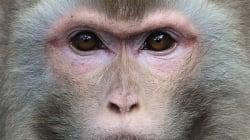 Ebola : un traitement guérit des singes