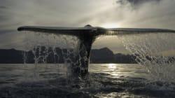 Il grande ritorno delle balenottere azzurre in California