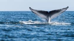 Chasse à la baleine: le Japon pourrait défier