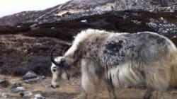 Mal des montagnes, Everest et bouse de yak - Nicolas