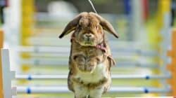 Anche i conigli saltano gli ostacoli!