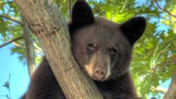 Bear Sleeping In A Tree Shocks City