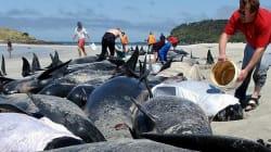 Se i cetacei perdono la