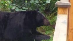 Fat, 'Lazy' Bear Roaming B.C. City Just Wants To