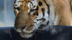 Tiger Kills Tiger At Winnipeg