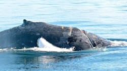 B.C. Humpback Whale Injured, Tangled In