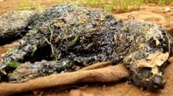 Inde: un chien tombé dans du goudron chaud sauvé de justesse