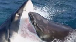 Squalo contro squalo