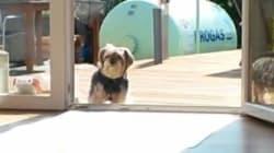 Ce chien attend qu'on lui ouvre une porte invisible pour