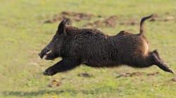 Boars Going Hog Wild In