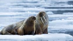 35.000 morses réfugiés sur une plage de l'Alaska à cause du