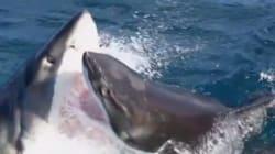 Deux requins blancs filmés dans un combat sans