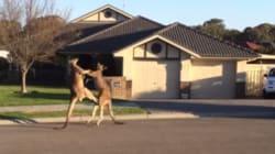 Ce combat de kangourous est digne du UFC