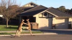 Ces kangourous règlent leurs comptes en pleine