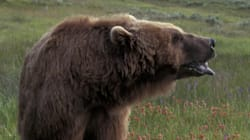 Grizzly Bear Injures Engineer On B.C. Central