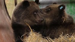 A Happy Thanksgiving Rescue For B.C. Orphan Bear