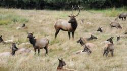 Ottawa Ignoring Call For Elk Cull: