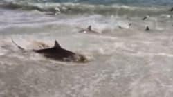 Des dizaines de requins affamés débarquent sur une plage