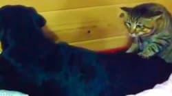 Des chats qui donnent des massages à des chiens, c'est relaxant!