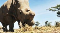 Cette espèce de rhinocéros va disparaître dans quelques