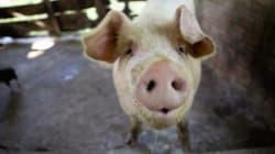 Storie di maiali