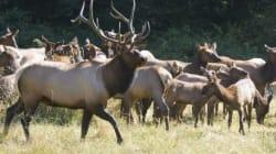 Pesky Elk