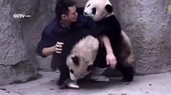 Ces bébés pandas n'ont vraiment pas envie de prendre leur