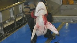 La vidéo choc de Greenpeace sur les méthodes des pêcheurs de