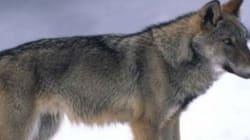 Il lupo torna sulle Alpi dopo decenni di assenza