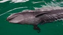 WATCH: False Killer Whale Doesn't Need An Umbrella, Ella,