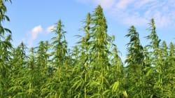 Marijuana médicinale: les agriculteurs québécois tenus à l'écart d'un marché
