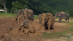 2 Minutes Of Elephants Playing In Mud Is Pure