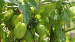 Pomodorini dop all'amianto nel parco del