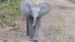 No es fácil caminar cuando eres un bebé elefante