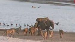 El bebé elefante que consiguió escapar del ataque de 14 leones