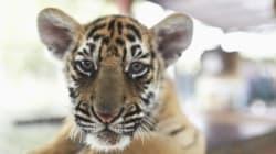 Un jeune tigre, est-ce vraiment
