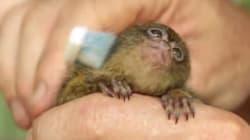 Cette toute petite créature adore sa brosse à
