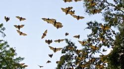 5000 cadavres de chauves-souris sont tombés du ciel