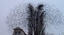L'envol simultané d'une centaine d'oiseaux