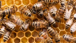 Ontario Plans To Cut Out Pesticide Linked With Bee