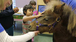 Mini Horses Are The Latest In Animal Therapy, And They're