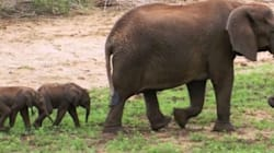These Super Rare Baby Elephant Twins Are Super, Super