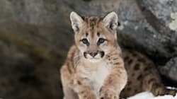Orphaned Cougar Cub Finds A New