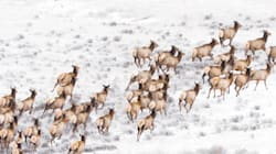 Elk Cull Approved On Military