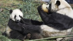 No Baby Panda For Toronto Zoo Just