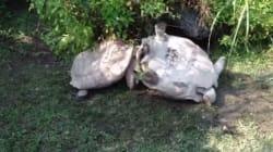 Une tortue aide son amie tombée sur le dos