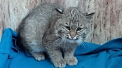 Hey, Rescued Baby Bobcat, Give Us Our Hearts