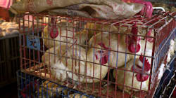 Avian Flu Never Seen Before In North America Shows Up In